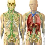 Körper-Lymphsystem-auf-Skelett.jpg